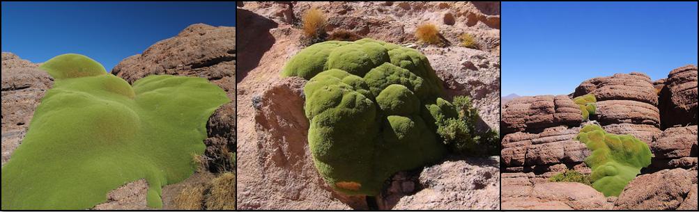 Una gran cantidad de ejemplares de llareta crecen sujetos a rocas.