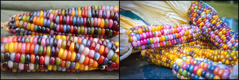 maíz3